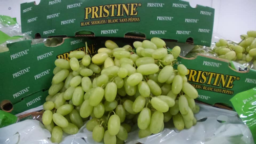 Four Star Fruit and Delano Farms recently announced they are launching their prized Pristine™ grape season