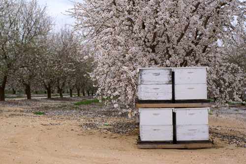 Beehives in almond orchards, Central Valley California