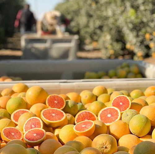 Bee Sweet Citrus has reported a strong supply of its specialty citrus varieties, including Blood oranges and Cara Cara Navels, to help retailers push seasonal promotions