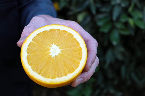 Bee Sweet Citrus has returned with its Heirloom Navel oranges, for a limited time