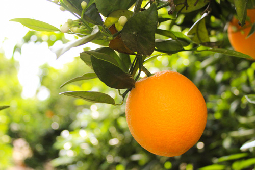 Bee Sweet is currently harvesting lemons, Valencia oranges, grapefruit, blood oranges, Meyer lemons, and organic lemons