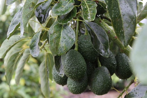 The California Avocado Commission is building anticipation for the avocado season via social media, The Scoop blog, and California avocado brand advocates