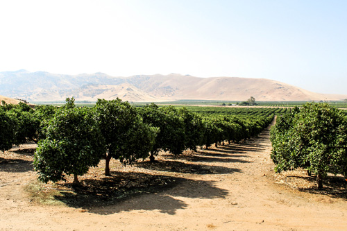 California's domestic citrus program is winding down, just as imports are beginning to ramp up