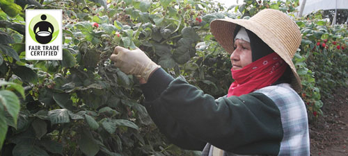 An image of a worker involved in Driscoll's Fair Trade Certified Program