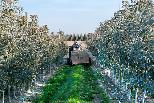 Okanagan Specialty Fruits' harvest season is approaching, and the grower will soon be shipping its Arctic® Goldens and Arctic® Granny Smith apples