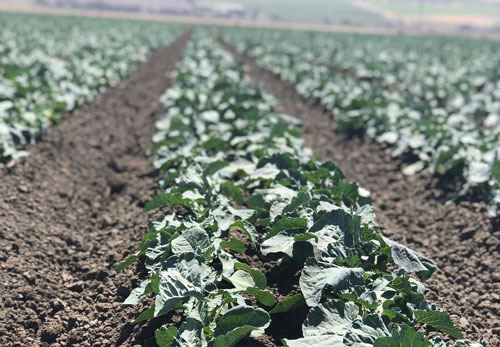 The annual produce transition from Salinas, CA, to Yuma, AZ, is on the horizon and signs are pointing positively according to The Nunes Company