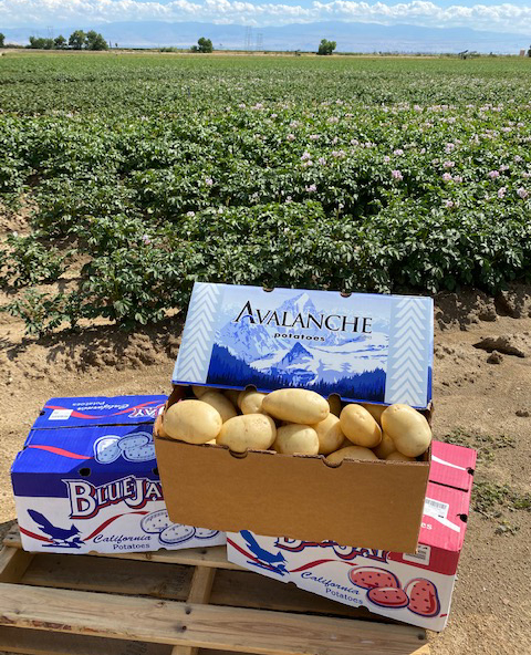 With the market for colored potatoes strong at the moment, Mazzei-Franconi is harvesting its new crop of red, yellow, and white potatoes with Johnston Farms in Edison, California