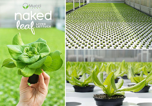 Mucci Farms Naked Leaf Living Lettuce