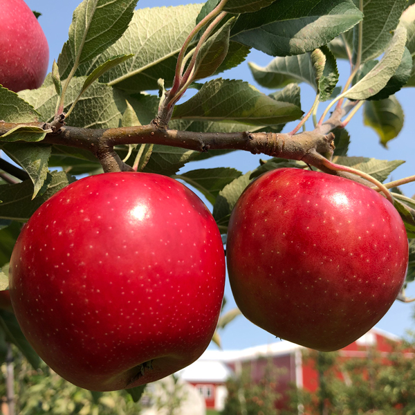 New York Apple Association reported that its New York apple harvest is well underway with expectations for approximately 32 million bushels