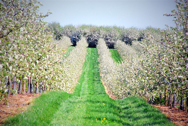 As reported by the New York Apple Association, apple trees are now in bloom across the state of New York as the spring season comes to a head
