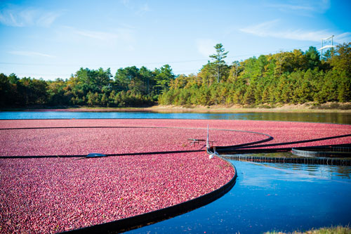 All cranberries have been harvested as of last week and those in storage will be packed through December, according to Tony Illiano, Senior Sales Representative