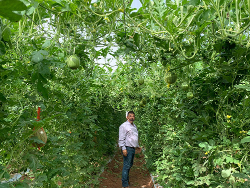 Pacific Trellis Fruit now grows watermelon vertically, allowing for a 30 percent higher yield over traditionally-grown watermelons
