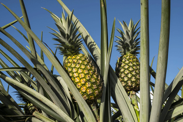 One of Fresh Del Monte Produce's initiatives is making its farms as Carbon Neutral as possible; 74 percent of all Fresh Del Monte-grown pineapples are grown carbon neutral to date