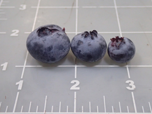 Blueberries are in high demand in the market, which Prometo Produce hopes to capitalize on