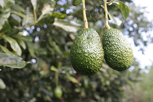 Growing Freska Avocados