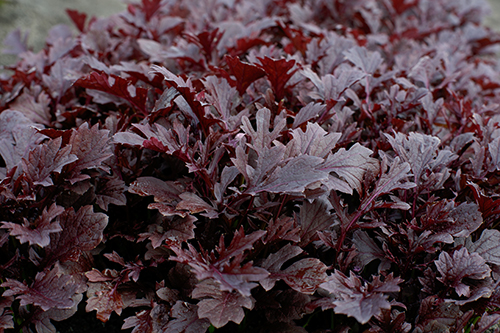 Further building out its leafy greens operations, Sakata Seed recently acquired Vanguard Seed, a well-known lettuce seed company based in Salinas, California