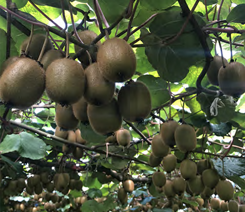 Awe Sum Organics' organic green and gold kiwifruit is sourced from top growers in both the Northern and Southern hemispheres to ensure a year-round supply