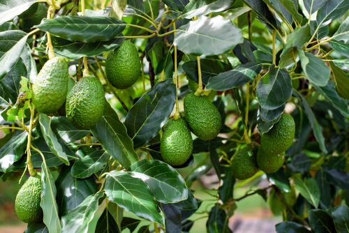 Lyn Pratt and Neville Cooper discovered that their avocado grove had been pilfered from, believing approximately 1,000 pieces of fruit were stolen off of the trees