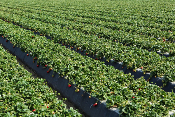 Western Veg-Pro will slowly start to increase strawberry production going into January