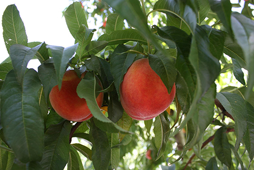 Wawona now owns breeding operations and the genetics of stonefruit like peaches and nectarines from Burchell Nursery